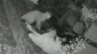 Mulher é atacada por leopardo e se safa usando bengala