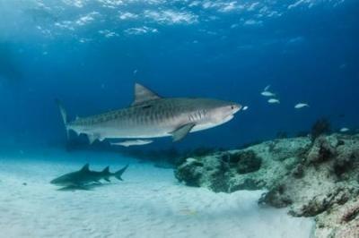Tubarão devora outro em praia da Flórida