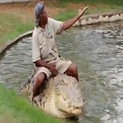 Homem faz carinho e brinca com crocodilo gigante