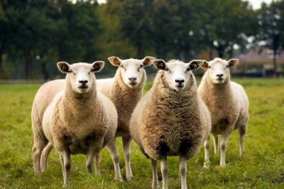 Por falta de alunos, 15 ovelhas são matriculadas em escola na França