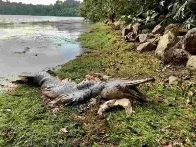 Fóssil vivo encontrado em Singapura