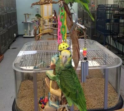 Esse papagaio canta melhor do que você