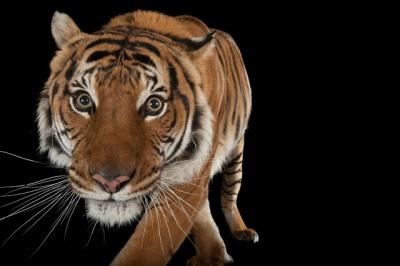 Como eles fazem um tigre posar pra câmera?