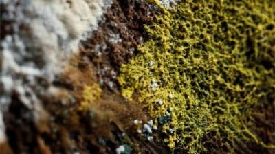 Physarum polycephalum ou 'Blob': A misteriosa criatura com 720 sexos e sem céreb