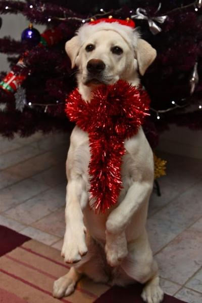 Veja alguns pets que já estão prontos para o Natal (25 imagens)