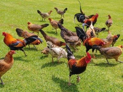Esta ilha havaiana é o lar de milhares de galinhas selvagens