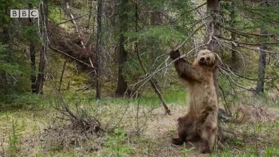 Ursos dançam ao som de Jungle Boogie