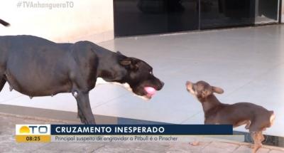 Pinscher é suspeito de engravidar pitbull
