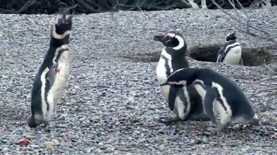 Vídeos mostra o que acontece quando pinguim descobre que sua
