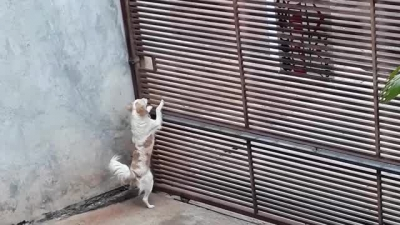 Cachorro esperto foge mesmo com portão fechado