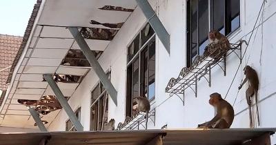Macacos famintos invadem prefeitura na Tailândia