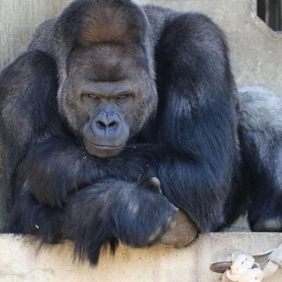 Gorila chama atenção em Zoológico por ser bonitão