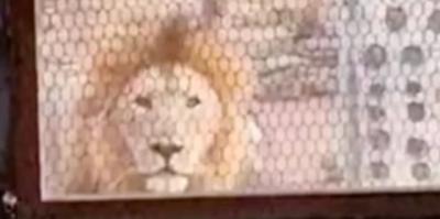 Homem acorda com leão do lado de fora de sua casa