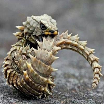 Parece um bebê dragão,mas é apenas uma espécie de lagarto