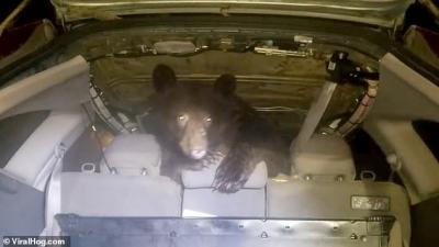 Urso entra dentro de carro e surpreende motorista