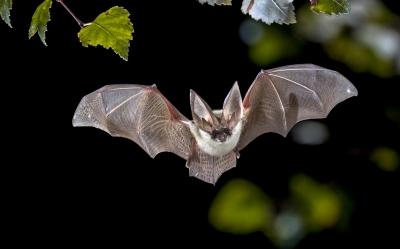 Morcegos praticam distanciamento social quando estão doentes, aponta estudo