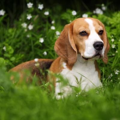 5 fatos sobre cachorro que você acredita e são mentiras