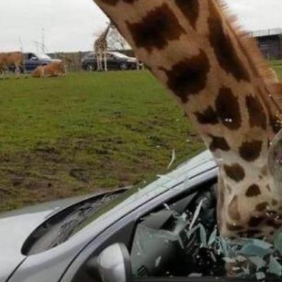 Girafas me dão medo