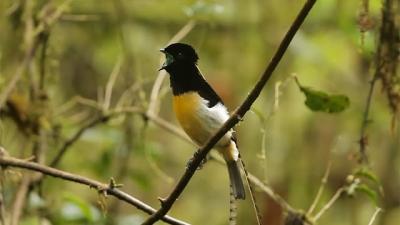 Esse pássaro tem um canto