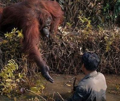 Orangotango estende a mão para