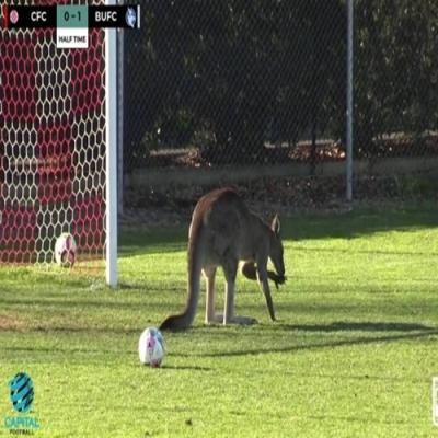 Canguru invade campo de futebol na Austrália