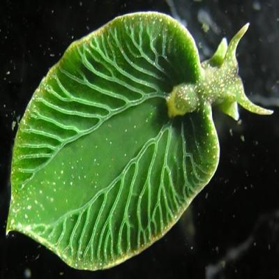 Conheça os incríveis animais fotossintéticos
