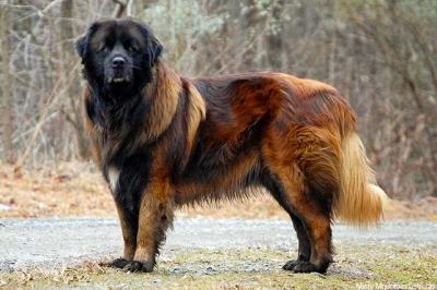 Conheça 32 raças de cães e gatos que você provavelmente nunca viu antes