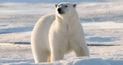Urso Polar, conheça fatos interessantes a respeito desse mamífero