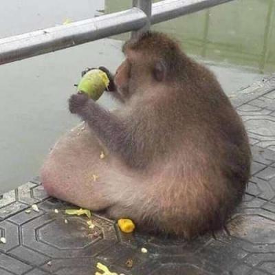 Macaco obeso comeu 3 jacas