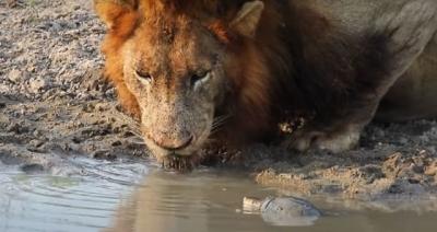 Leões são expulsos por tartaruguinha