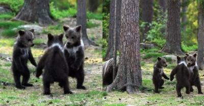 Professor flagra três ursinhos dançando no meio da floresta