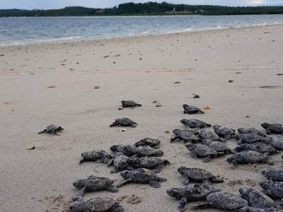 Salvando Tartarugas na Ilha de Itamaracá