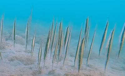 Veja o raro e único peixe navalha nesse vídeo