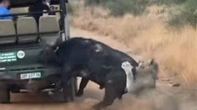 Búfalo colide com carro enquanto fugia de leão na África do Sul