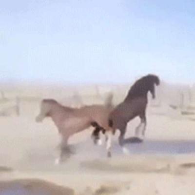 Rinha de cavalos
