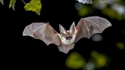 Cientistas planejaram infectar morcegos com coronavírus