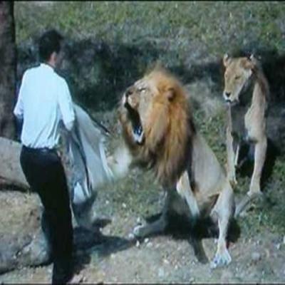 Homem invade a jaula dos leões em zoológico de Taiwan