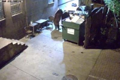 Urso rouba lata de lixo inteira e é pego na câmera