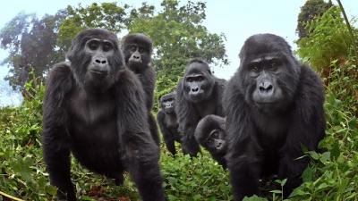 Câmera secreta flagra gorilas fazendo algo muito curioso