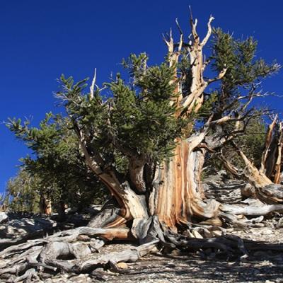 Qual é o organismo vivo mais antigo conhecido?