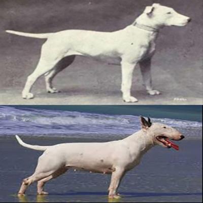 Como eram as raças de cães populares antes e depois de 100 anos de procriação